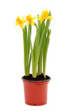 daffodils in pot poster