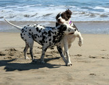2 dogs playing on the beach poster
