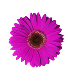 violet gerbera flower poster