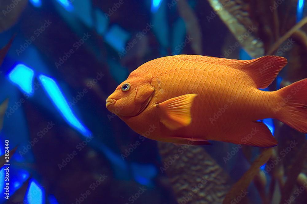 rybka tropikalny zwierzę - powiększenie