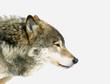 roleta: wolf head