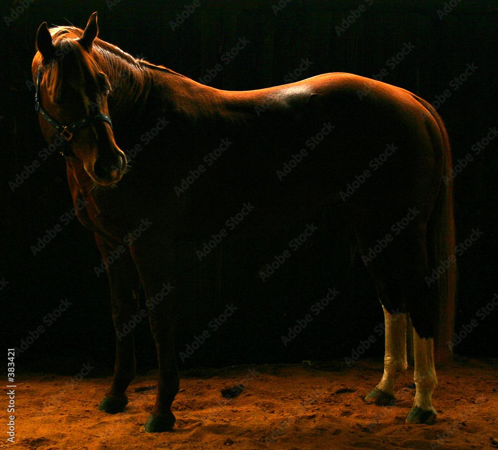 zwierzę equus jazda konna - powiększenie