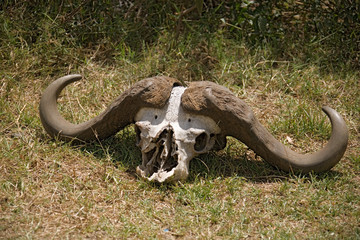 animals 084 buffalo head