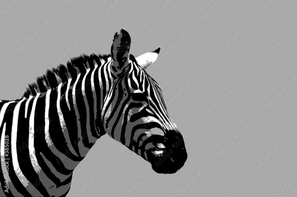 zebra safari dżungla - powiększenie