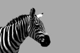 zebra illustration poster