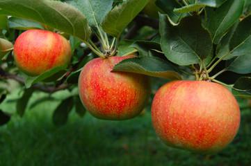 tree ripened apples