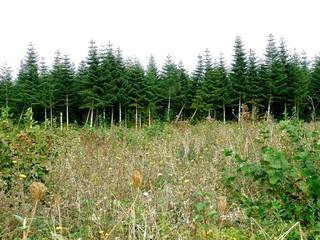 pinède, forêt de sapins
