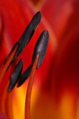 red hemerocallis