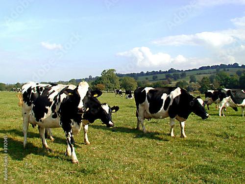 british cows
