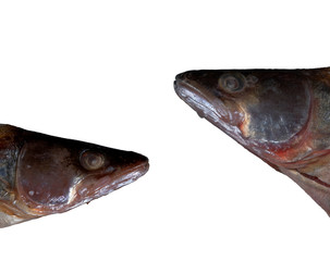 fish heads isolated