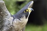 falcon head poster