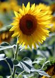 sunflower blossom poster