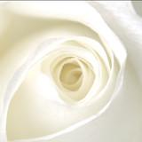 white rose - 399676