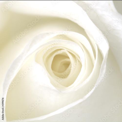 Obraz na Szkle white rose