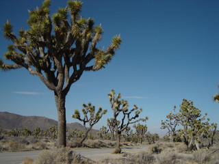 joshua-tree national park