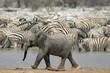 roleta: baby elephant