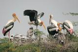 storks breeding poster