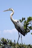 gray heron standing poster