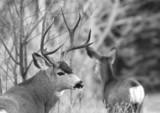 proud buck poster