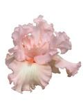 beverly sills iris hybrid poster