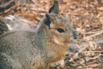 patagonian cavy - close up