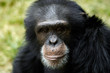 animal - chimpanzee (pan troglodyte)