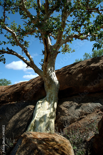 mountain fig