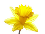 yellow easter daffodil - 418414