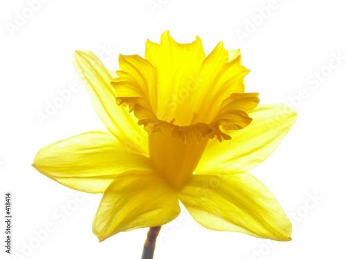 Fototapeten Narzisse yellow easter daffodil