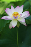 lotus blossom - Fine Art prints