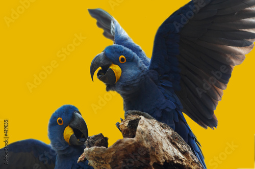wild blue hyacinth macaw, pantanal, brazil