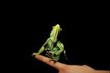 finger chameleon poster