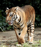 tiger of sumatra poster