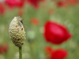 bug resting on a field poppy poster