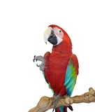 blue wing red macaw poster