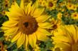 biene & sonnenblumen