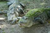 alligators at everglades park, florida, u.s.a. poster