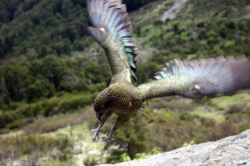 flying kea