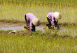 vietnam, halong bay road: rice field
