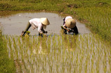 vietnam, halong bay road: rice field poster
