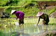 plantation de riz en indonésie