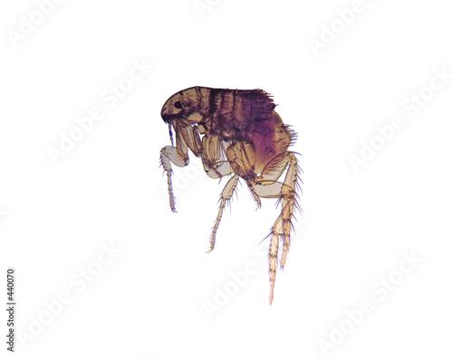 microscope-flea (ctenocephalides)