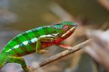 Fototapeta wild chameleon walking, madagascar