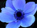 blue single flower macro poster