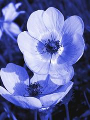 blue doutone flowers - floral