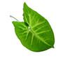 green leaf over white