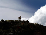 guanaco on a hill