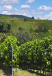 wine grapes rows
