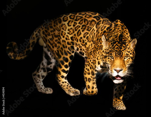 Leinwanddruck Bild angry wild panther on black background