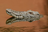 nile crocodile poster